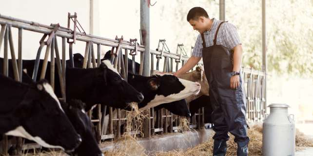 Dairy farmer feeding cows